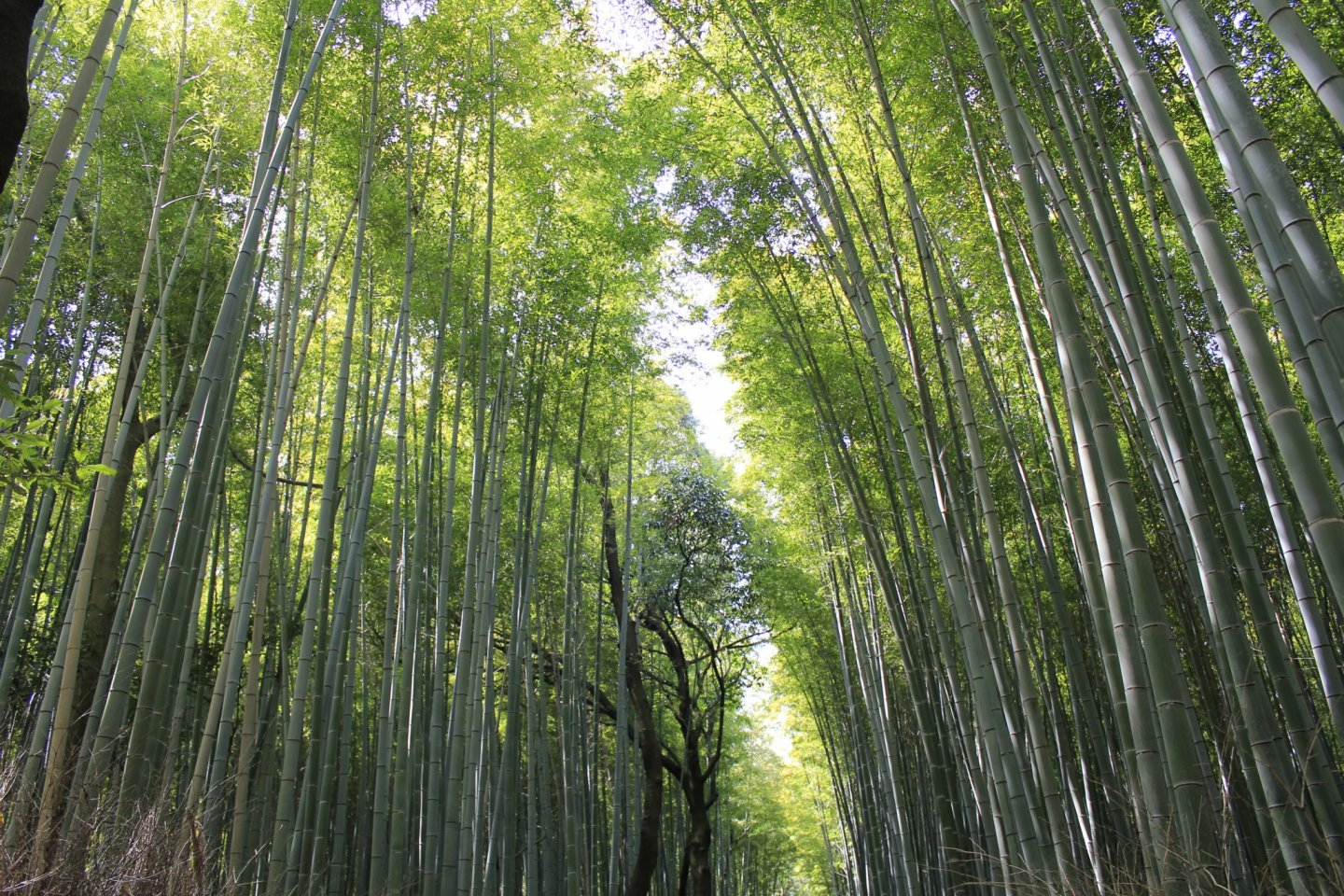 The Bamboo Forest of Arashiyama - Arashiyama, Kyoto - Japan Travel
