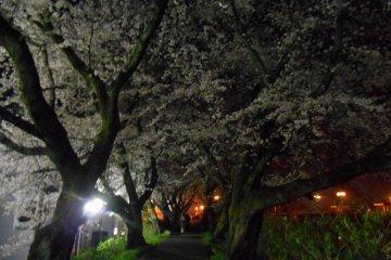 아스와 강변 산책로 벚꽃터널