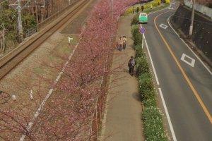 Mil cerezos Kawazu-zakura cerca de la estación de Miura-kaigan comienzan a florecer a finales de enero y principios de febrero y el proceso dura todo un mes.