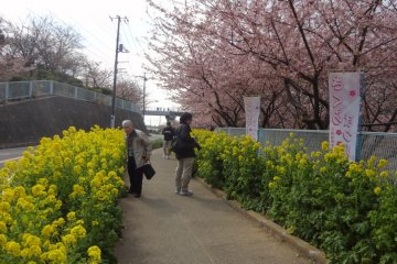 The contrast of the pink of the cherry blossoms and the yellow of the rape weed is truly wonderful.