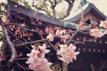 Cherry blossoms at Bekku Oyamazumi Shrine in Imabari