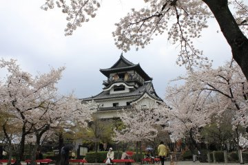 Cherry Blossoms at Inuyama Castle
