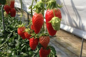 Strawberries ready for picking and eating...