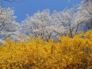 벚꽃이 만개한 노란 개나리