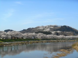 Whole cherry trees on the hill and the riverbank are mirrored on the water surface of the beautiful Shiroishi River