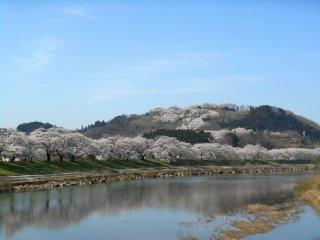 언덕과 강둑에 있는 벚나무 전체가 아름다운 시로이시강 수면에 비친다