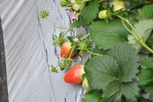 The Juicy Strawberries