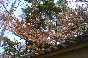 Sakura on the way to the shrine