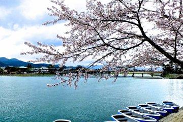 카페 내 자리에서 바라본 벚나무, 강, 토게츠 다리의 전경-완벽하다!