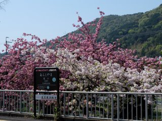 ออกจากรถไฟมาก็เจอซากุระแรกในเกียวโตต้อนรับอย่างอบอุ่น