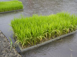 Rice seedlings are stored alongside the fields shortly before planting