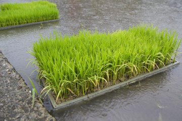 <p>Rice seedlings are stored alongside the fields shortly before planting</p>