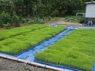 Rice seedlings are grown in beds like this one at a farmer's home; these are almost ready