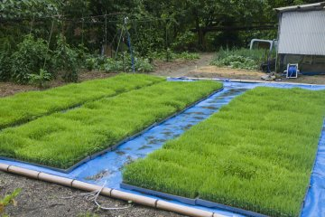 <p>Rice seedlings are grown in beds like this one at a farmer&#39;s home; these are almost ready</p>