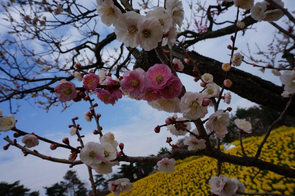 Hoa anh đào với vô vànmàu sắc, nhưng điểm nổi bật ở đây chính là cánh đồng hoa thủy tiên vàng rực