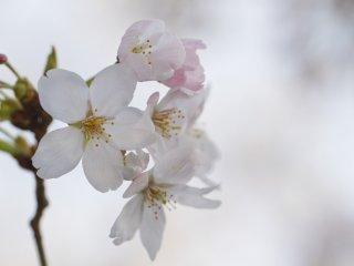 다양한 단계의 꽃: 활짝 피어서 막 지기 시작한다