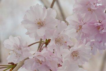<p>These yaeshidarezakura, or &quot;weeping&quot; cherry blossoms,&nbsp;have far more petals, and more pink, than the standard five-petal blossom</p>