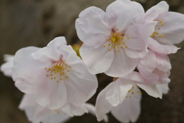 <p>Some varieties have overlapping petals while others have a slight space between them</p>