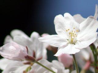 The brilliance of sakura