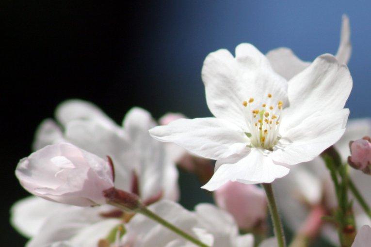Sakura di Taman Maizuru