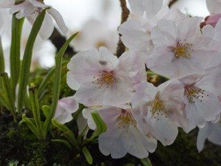 بعض الأزهار تنبت مباشرة من جذع الشجرة