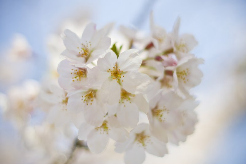 <p>Thick bunches of blooms</p>