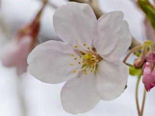 A single blossom