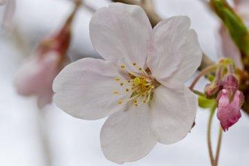 <p>A single blossom</p>