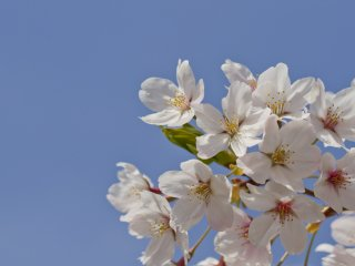 في بعض الأنواع، تظهر الأوراق في نفس وقت ظهورالزهور