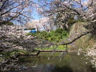 Sakura tree in front of the castle