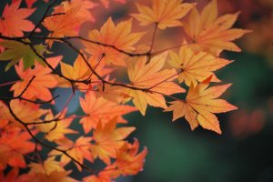 One of the best times of year to visit Koyasan is in autumn to see the momiji (maple leaves).