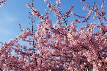 Hiroshima City Hanami Guide