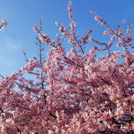 Hiroshima City Hanami Guide