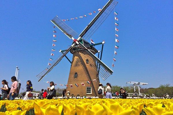 กังหันลมทำขึ้นในประเทศเนเธอร์แลนด์ และประกอบที่เมืองซากุระ ดอกทิวลิปสีเหลืองสดใสเป็นกรอบสวยๆให้ถ่ายรูป