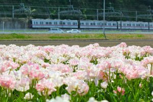 The blush colored tulips highlight the train traveling on the Keisei Line.