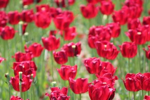Even though the red tulips were the farthest planted bunch, visitors were stillkeen on seeing them close-up.