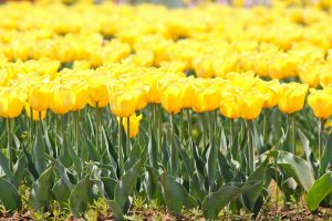 Sunny Yellow Tulips are a sure sign that Spring is here!
