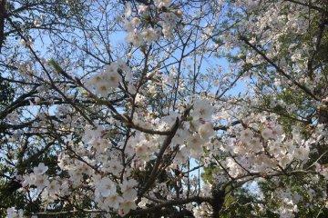 <p>Sakura</p>