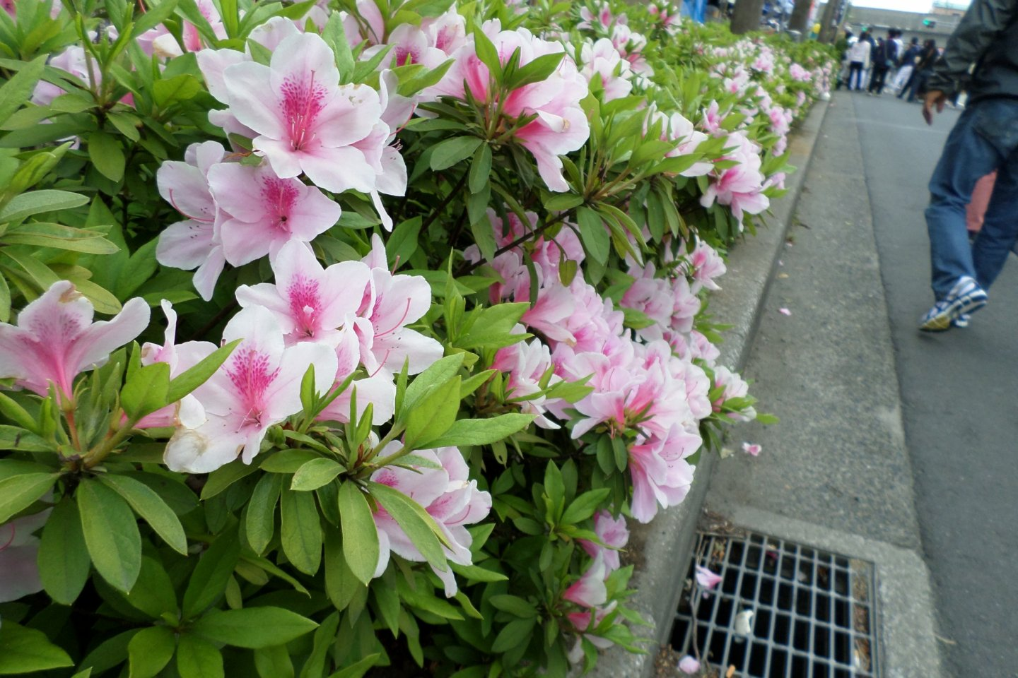 Azalea plants lined the streets of Yachiyo. No matter where you turned, you kept running into more and more beautiful flowers.