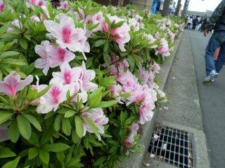 Tanaman Azalea berderet di jalan-jalan Yachiyo. Tidak peduli di mana Anda berkunjung, Anda akan terus melihat bunga Azalea yang makin lama makin indah!