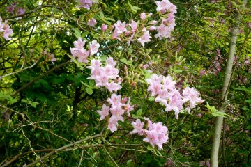 <p>On the way to the memorial monument, there were beautiful wild azaleas blooming alongside the walking path</p>