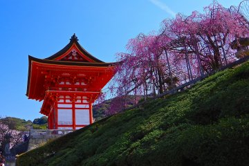 <p>Weeping cherry trees and Nio-mon Gate</p>