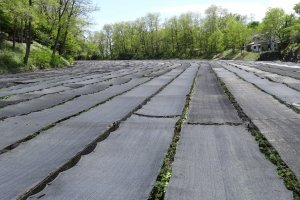 During the months of May to October the wasabi field has black mesh stretched across it for sun protection.