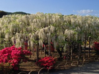 The wisteria does not only come in lavender color but also in white—a panoramic view of a white wisteria tree.