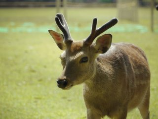 Deer are everywhere around Nara Park, they are not afraid of people and it's very common to see them walk by you.
