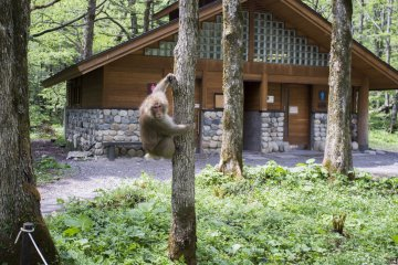 <p>Monkeys like these can be sighted along the nature trail of Kamikochi. This one was feeling a little guarded from visitors.</p>