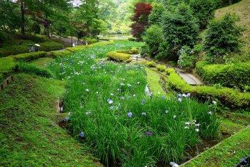 <p>The iris ponds cover a long narrow area</p>
