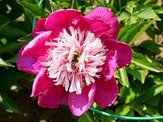 Mẫu đơn hồng với nhuỵ màu hồng nhạt