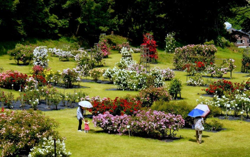 장미는 햇살 가득한 환경에서 번창하므로 양산은 좋은 생각이다!