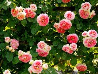 이 핑크색 장미는 꽃으로 덮여 있었다